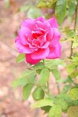 Sweet pink rose, vintage — Stock Photo