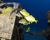 Yellow snapper at Corsair wreck — Stock Photo
