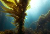 Kelp in the Sunlight — Stock Photo