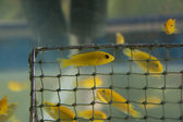 Aquarium Fish- Cichlid Hummingbird Yellow.(Labidochrom is caerul — Zdjęcie stockowe