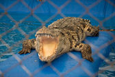 A crocodile with open jaws — Stock Photo