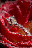 White gold diamond ring in Red rose taken closeup with water drops and bubbles — Stock Photo