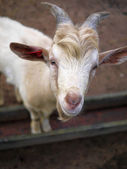 Binnenlandse geit — Stockfoto