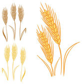 Wheat and rye ears — Vecteur