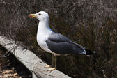 Spiteful seagull — Stock Photo