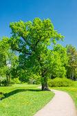 Solar oak — Stock Photo