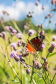 Mariposa de swallowtail — Foto de Stock