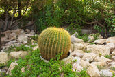 Cactus Echinopsis — Stock Photo