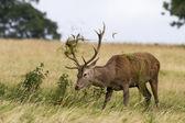 Red deer ( Cervus elaphus) — Stock Photo