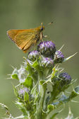 Small Skipper ( Thymelicus sylvestris ) — Stock Photo