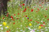 Wildflower meadow — Stock Photo