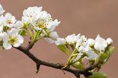 Päron blossom — Stockfoto