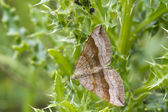Shaded broad-bar  Moth ( Scotopteryx chenopodiata ) — Stock Photo