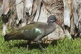Hadada Ibis (Bostrychia Hagedash) — 图库照片