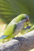 Monk Parakeet  (Myiopsitta monachus) — Stock Photo