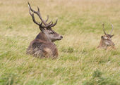 Red deer  Cervus elaphus — Stock Photo