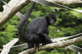 Black Spider Monkey ( Ateles paniscus) — Stock Photo