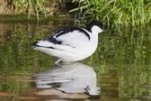 Avocet ( recurvirostra avosetta) — Stock Photo