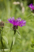 Common (Black) Knapweed Centaurea nigra 'rayed' — Stock Photo