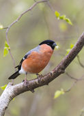 Male Bullfinch (Pyrrhula-pyrrhula) — Stock Photo