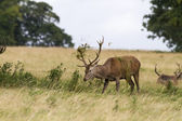 Red deer ( Cervus elaphus) — Stock Photo