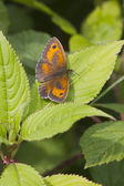 Gatekeeper Butterfly (Pyronia tithonus) — Stock Photo
