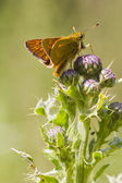 Small Skipper (Thymelicus sylvestris) — Stock Photo