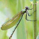 Banded demoiselle   (Calopteryx splendens) — Stock Photo #48206245