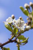 Pear Blossom — Stock Photo