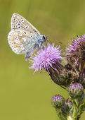 Common blue, Butterfly — Stock Photo