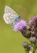 共通の青い蝶 — ストック写真