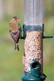 Greenfinch (Carduelis chloris) — Stock Photo