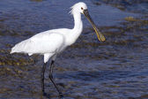 Spoonbill  — Stock Photo