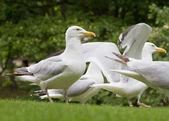 Herring Gull — Stock Photo