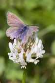 Common Blue Butterfly (Polyommatus icarus) — Stock Photo