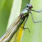 Banded demoiselle   (Calopteryx splendens) — Stock Photo #49388515