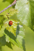 Ladybird on leaf — Foto de Stock