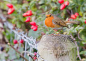 Robin on fence post — Stock Photo
