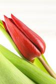 Czerwony tulipan — Zdjęcie stockowe