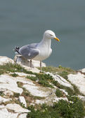 Herring Gull — Photo