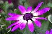 Senetti Flower — Stock Photo