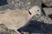 Collard Dove — Stockfoto