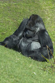 Gorilla sitting on grass — Stock Photo