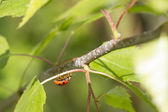 Red ladybird — Foto de Stock