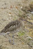 Beautiful  Curlew — Stock Photo