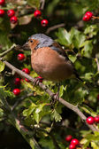 Chaffinch in hawthorn — Stock Photo