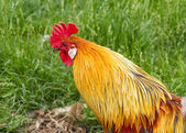 Cockerel rooster — Stock Photo