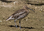 Curlew looking for food — Stock Photo