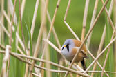 Bearded Tit — Stock Photo