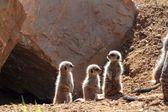 Cute meerkat babies — Stock Photo